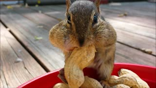 Adorable chipmunks stuff their faces! - Video