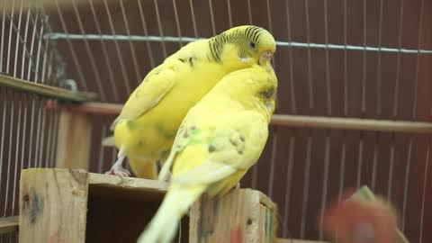 Two yellow parrots are in love