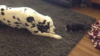 Foster kitten adorably plays with Dalmatian