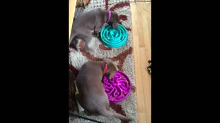 Puppies bump into each other while circling food bowls - Video