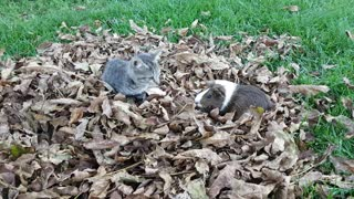 Kitten and guinea pig play in pile of leaves - Video
