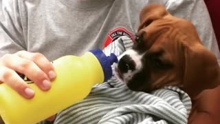 Sick boxer puppy sweetly gets bottle fed