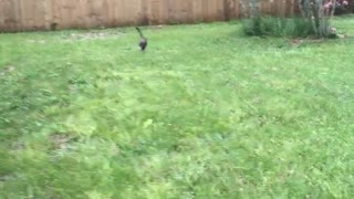 Cat and dog chase frisbee - Video