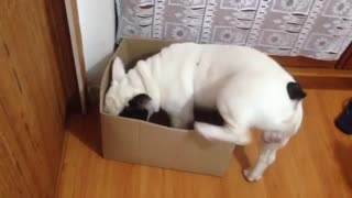 French Bulldog channels inner cat with new box - Video