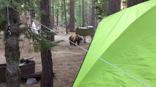 Bear Smells Dinner Cooking at Campsite - Video
