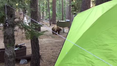 Bear Smells Dinner Cooking at Campsite
