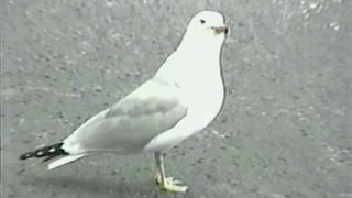 Woman Commentates Seagull Swallowing A Hotdog Whole - Video