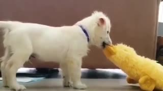 my little dog play with toys