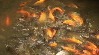 Yellow fish poud too full  - Video