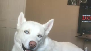 Husky freaks out when he hears special word