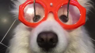 Samoyed wears wiper glasses for rainy day playtime