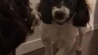 Angry dog tries to attack mirror reflection - Video