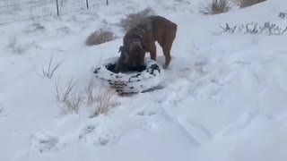 Impressively strong Olde English Bulldogge runs with full tire in mouth