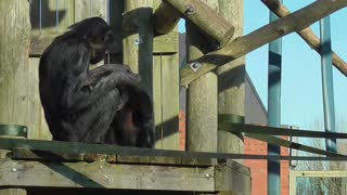 Chimpanzee mother gives helping hand to baby