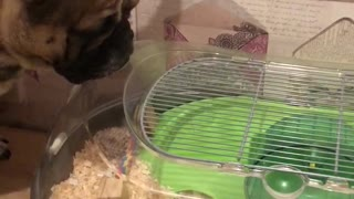 Frenchie just wants to be friends with hamster