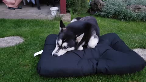Goofy Husky takes her sweet time getting used to brand new bed