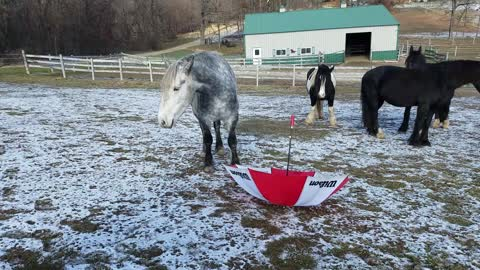 Silly horse keeps smacking himself in face with umbrella handle