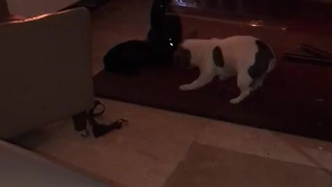 french bulldog trying to play with cats