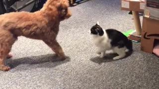 Cat and dog play fighting in living room