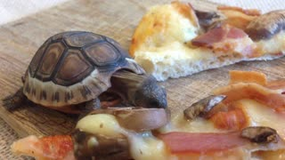 Adorable baby tortoise loves pizza - Video