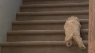 Small puppy dog tries to climb up stairs fails gives up