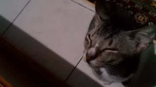 Cutest meowing ever! Cat demands attention
