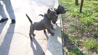 Adorable American Bully puppies