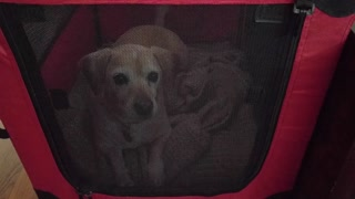 Dog throws temper tantrum after receiving new crate - Video