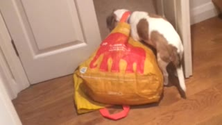 Dog yellow bag around neck drags around - Video