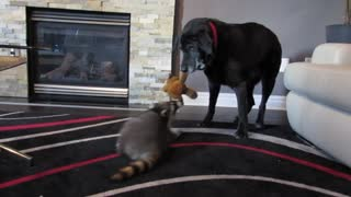 Old dog and raccoon play tug-of-war