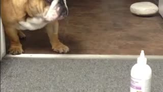 English Bulldog puppy reacts to ear cleaning bottle - Video