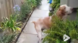 Dog loves chasing bubbles - Video