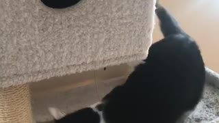 White cat playing with other cat - Video