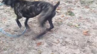 Black dog playing with hula hoop  - Video