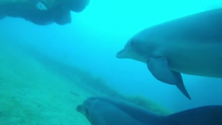 Dolphins swimming in the Red Sea, Eilat Israel 1