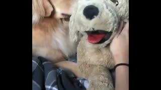 Golden is jealous to toy dog - Video