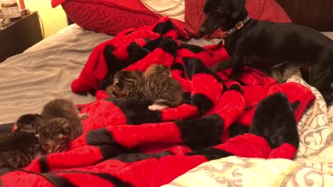 Sweet Dachshund Falls In Love With Newborn Kittens Upon Introduction