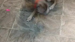Grey dog chase laser - Video