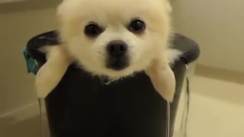 Pomeranian Almost Falls Asleep During Relaxing Bath Time