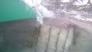 A large Great White Shark rushes cameramans lens while filming off a shark diving boat