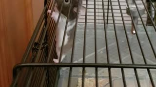 Brown hamster climbing on cage falls down  - Video