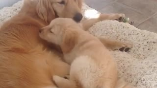 Adorable cachorro es presentado a una Golden Retriever adulta - Video