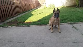 Before You Get a Belgian Malinois - Video