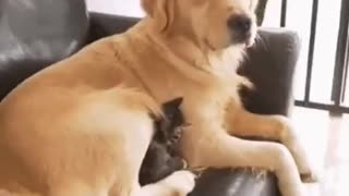 Little cat sleeps with a dog