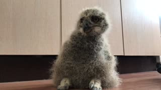 Baby eagle owl  - Video