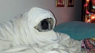 Dog sleeps wrapped tight under covers