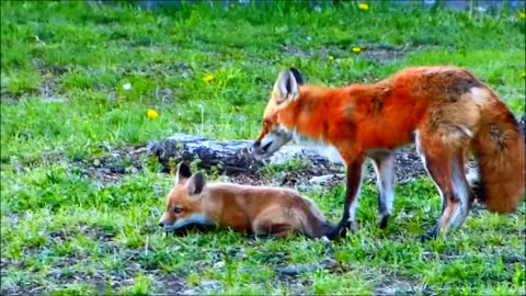 Cute Baby Foxes with Mom