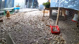 Time Lapse of Chickens in their Run after First Rain Full Day