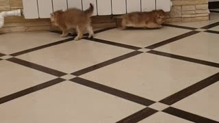 Kittens Trying To Intimidate One Another End Up Slipping On Tile Floor Instead