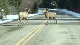 Bighorn Sheep Showdown in the Street